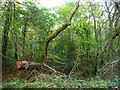 SO2921 : Fallen tree, Coed y Cerrig by Christine Johnstone