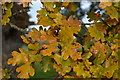 SU1401 : Oak leaves turning yellow by David Martin