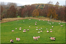NJ0225 : Sheep beside the Speyside Way by Anne Burgess