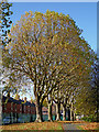 SO9197 : Mature plane trees in Graiseley Park, Wolverhampton by Roger  Kidd