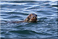 NT8670 : A seal near The Souter by Walter Baxter