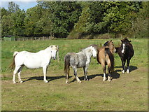 TQ6757 : Horses with nothing much to do - West Malling, Kent by Marathon
