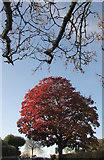SX9065 : Tree, Cricketfield Road, Torre by Derek Harper