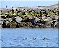 NU2232 : Eider Ducks in the outer harbour at Seahouses by Robert Graham