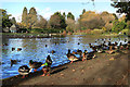 TQ1189 : Overcrowding at the Pond by Des Blenkinsopp