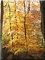 SU9584 : Burnham Beeches, autumn leaves from Lord Mayor's Drive by David Hawgood