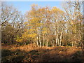 SU9485 : Silver birch trees in autumn, Burnham Beeches by David Hawgood
