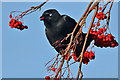 NT4936 : A jackdaw with a rowan berry by Walter Baxter