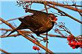 NT4936 : A female blackbird feeding on rowan berries by Walter Baxter