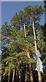 TQ3339 : Pines, Copthorne Hotel Effingham Park by Derek Harper