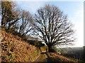 SS6831 : Beech tree on Mill Lane : Week 48