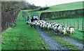 NY1528 : Sheep at Harrot Hill Farm by Trevor Littlewood