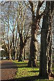 SX9164 : Trees, Upton Park, Torquay by Derek Harper