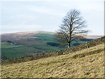 NY9539 : Lone tree beside wall by Trevor Littlewood
