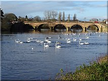 SO8454 : Swans on the River Severn by Philip Halling
