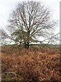 TL7998 : Hedgerow Oak by David Pashley