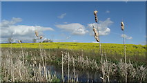 SK8037 : The Grantham Canal & oil seed rape, SW of Bottesford Wharf by Colin Park