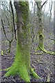 SO7639 : Moss covered trees by Philip Halling