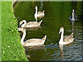SK0916 : Cygnets at Handsacre in Staffordshire by Roger  Kidd