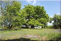 TM2743 : Oak tree, bluebells and bracken, Newbourne Springs Nature Reserve by Simon Mortimer
