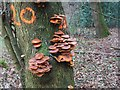 TL8193 : Fungi on tree marked to be felled by David Pashley