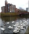 SK5803 : Swans on the Grand Union Canal in Leicester by Mat Fascione