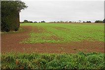SP2594 : Emerging crop near Brook End Farm by Bill Boaden