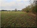 TF7607 : Sheep field, Beachamwell Warren by Hugh Venables