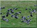 TG0544 : Brent Geese (Branta bernicla) by Hugh Venables