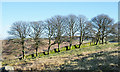 NY4400 : Line of trees alongside wall by Trevor Littlewood