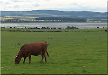 NU1535 : Field and cattle near Kiln Point, Budle Bay by Mat Fascione