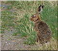 NU0939 : Hare at Fenham-le-Moor by Mat Fascione
