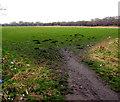 SJ3069 : Molehills in a Shotton field by Jaggery