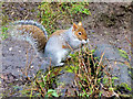 SH9974 : Squirrel in the Dell at Bodelwyddan Castle by David Dixon