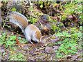 SH9974 : Squirrel Foraging at Bodelwyddan Park by David Dixon