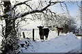 H5476 : Cattle in the snow, Oxtown by Kenneth  Allen