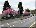 SS7598 : Pink blossom, Main Road, Cadoxton, Neath by Jaggery