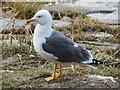SJ4065 : Lesser black-backed gull by Chester's salmon steps by John S Turner