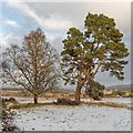 NH6050 : Mature Silver Birch and Scots Pine by valenta