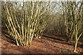 SX8864 : Coppicing, Conqueror Wood by Derek Harper