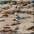 NH8857 : Pied Wagtail by valenta