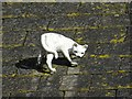 SO7535 : Cat on a slate roof by Philip Halling