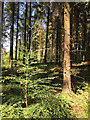 SX8979 : Young conifer among mature Norway Spruce, Haldon Forest by Robin Stott