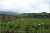 SH6130 : Sheep near Ffridd Farm by DS Pugh