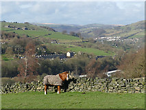 SE0424 : Horse by a dry stone wall by Stephen Craven