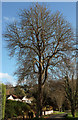 SX9363 : Tree by Ilsham Road by Derek Harper
