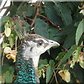 SP0485 : Peahen, Birmingham Botanical Gardens by Rudi Winter