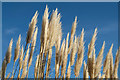 SJ2738 : Pampas Grass at Chirk Castle by Jeff Buck