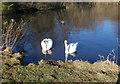 TL8293 : Swans on Lynford Lakes by David Pashley