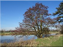 SO8844 : Alder tree by Philip Halling